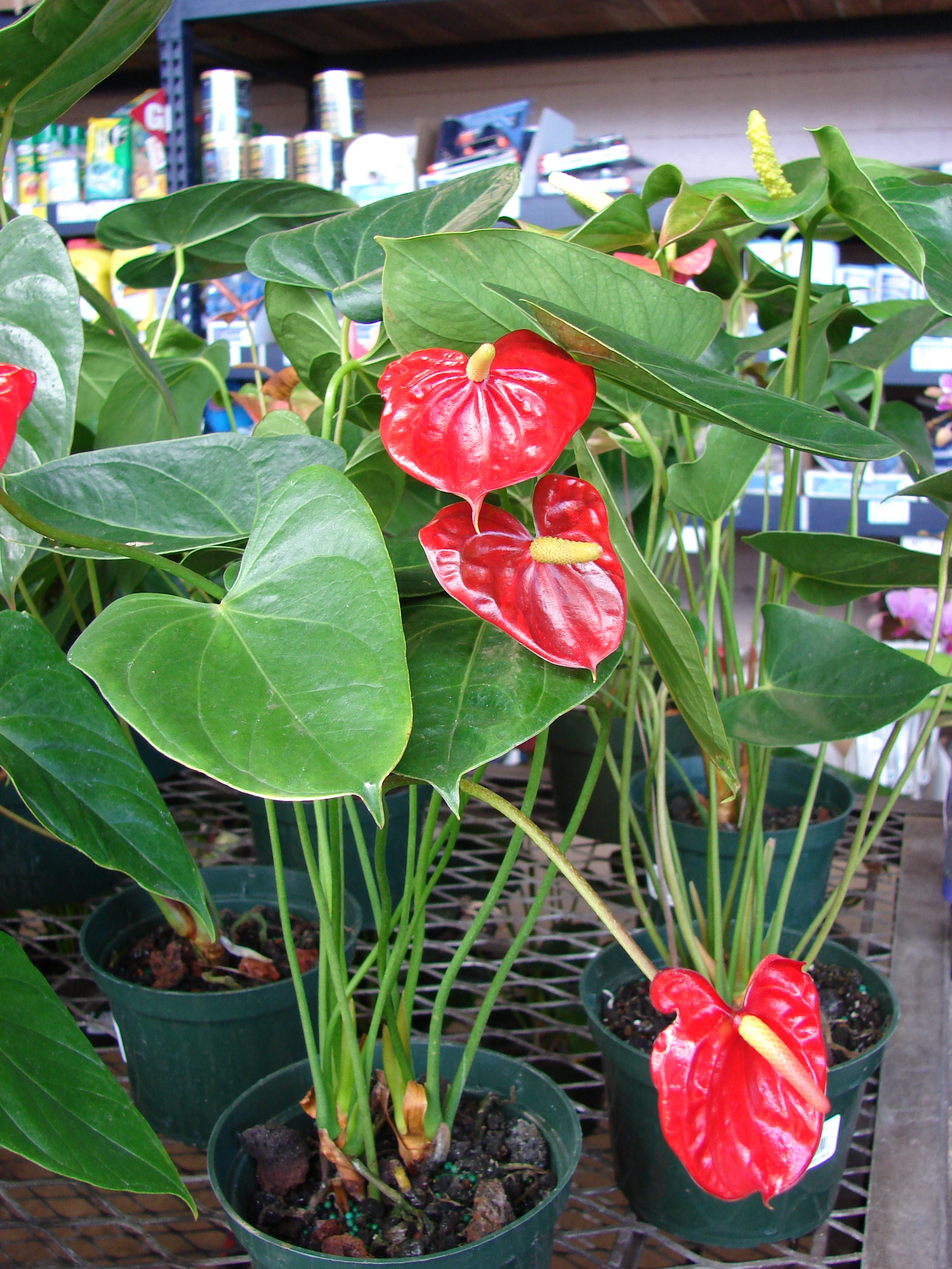File Starr 080103 1397 Anthurium Andraeanum Flowering Habit Lowes Garden Center Kahului Maui 24899714095 Jpg Wikimedia Commons See reviews and photos of luaus in maui, hawaii on tripadvisor. https commons wikimedia org wiki file starr 080103 1397 anthurium andraeanum flowering habit lowes garden center kahului maui 24899714095 jpg