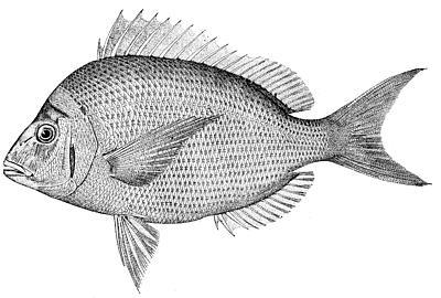 Image:Stenotomus chrysops (line art).jpg