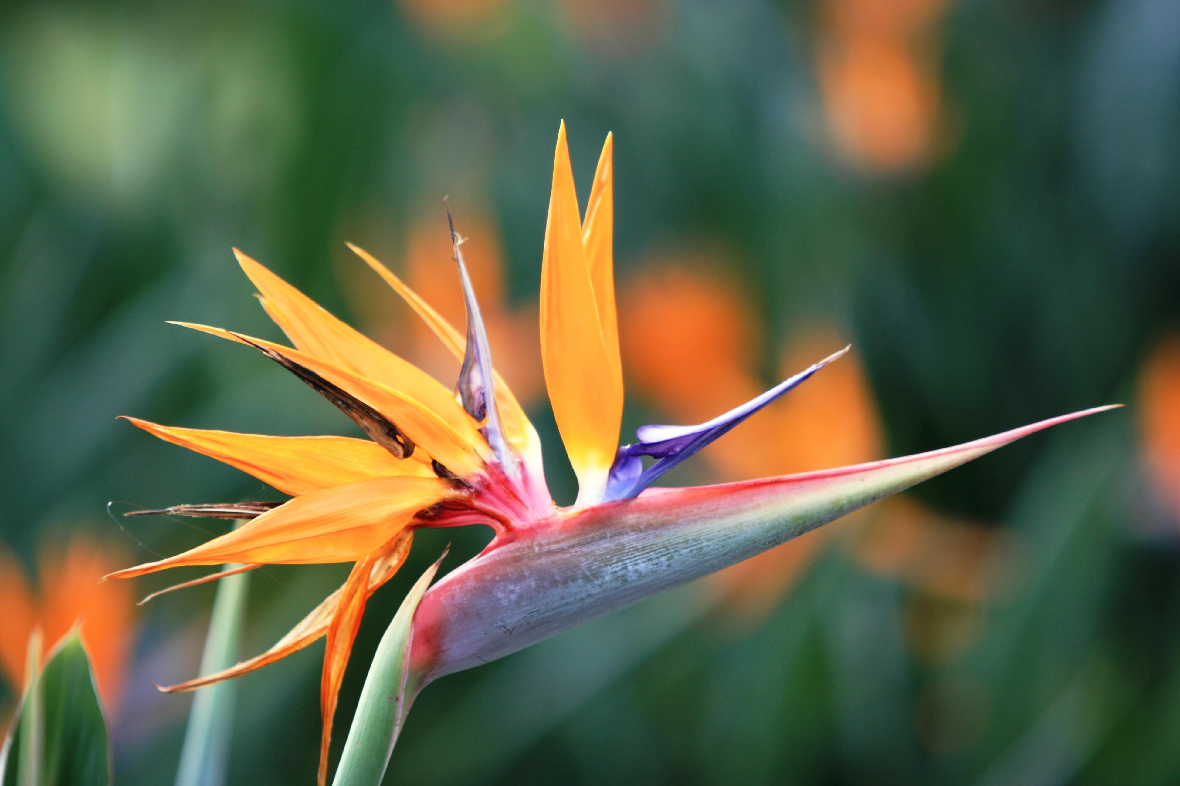 File:Strelitzia reginae, Gold Coast, Queensland, Australia