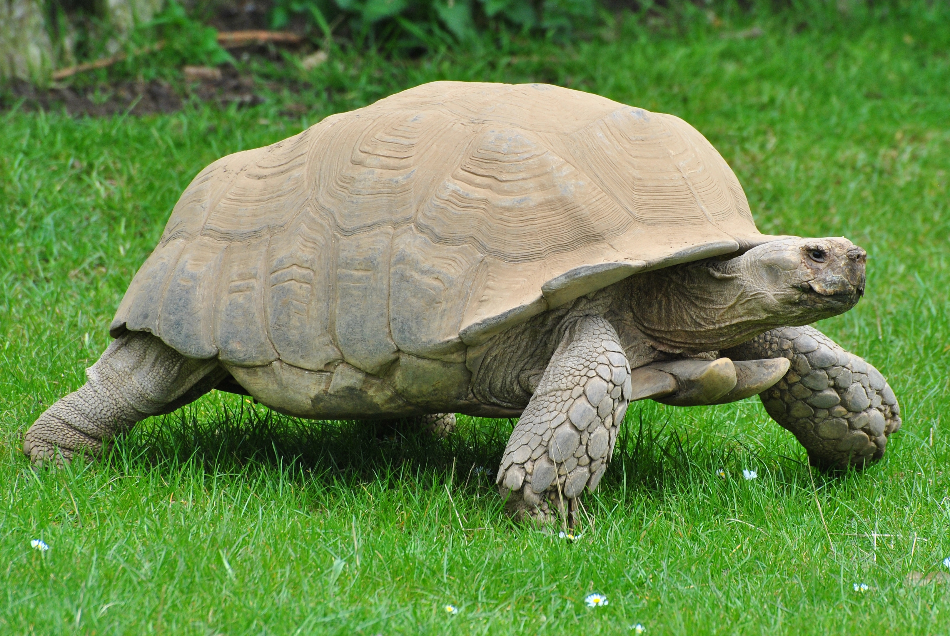 African spurred tortoise - photo#40