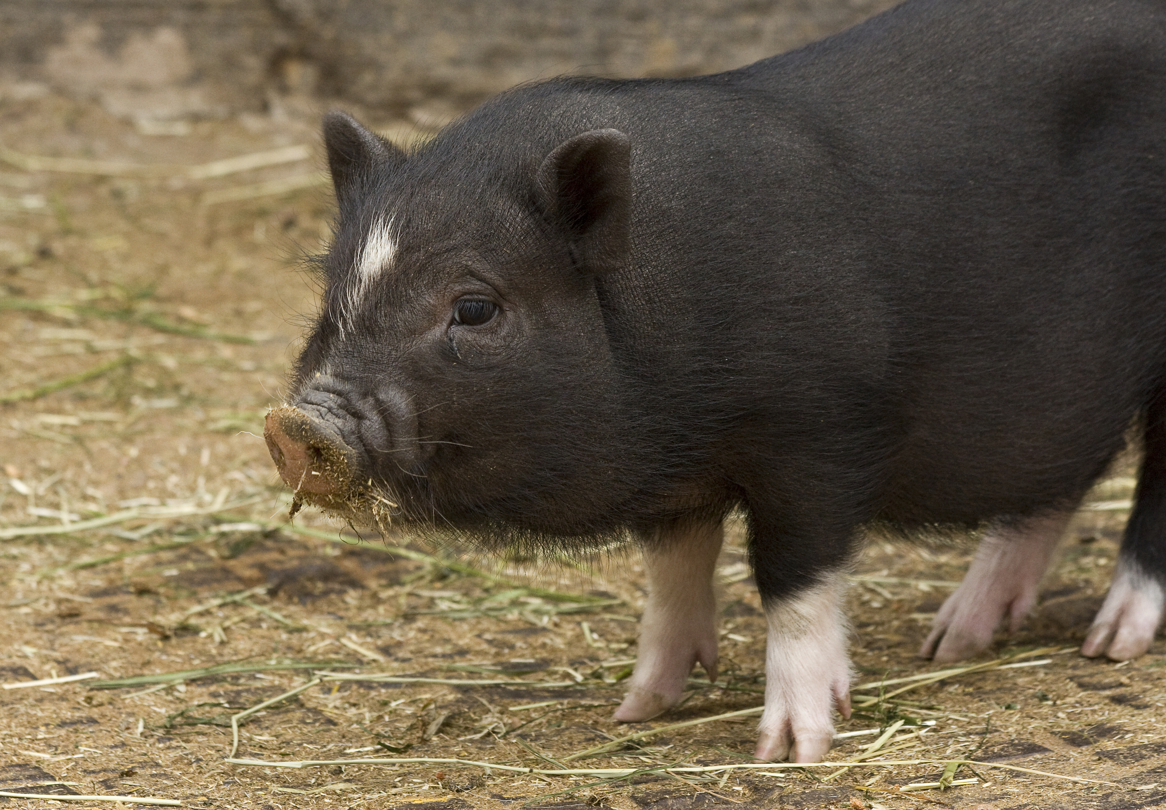 """This Couple Accidentally Adopted A 650lb """"Mini Pig"""" - YouTube"""