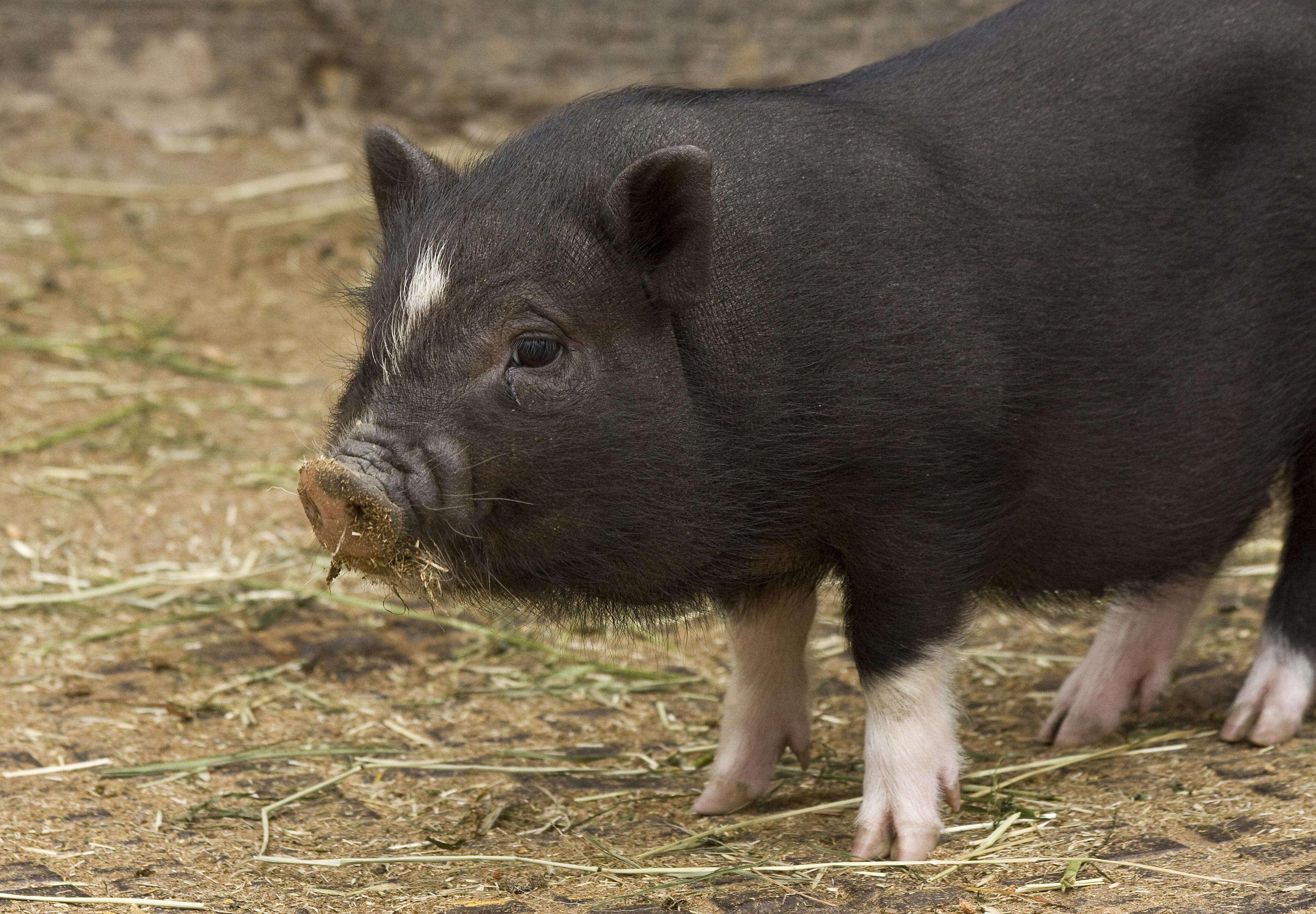 pig wikipedia