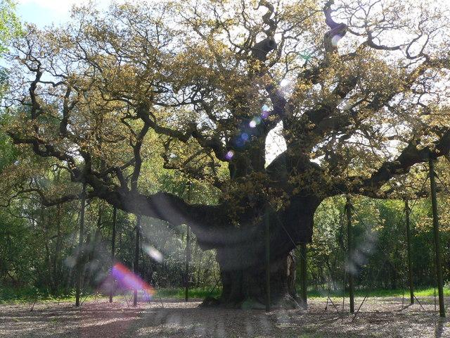 File:The Major Oak. - geograph.org.uk - 309636.jpg