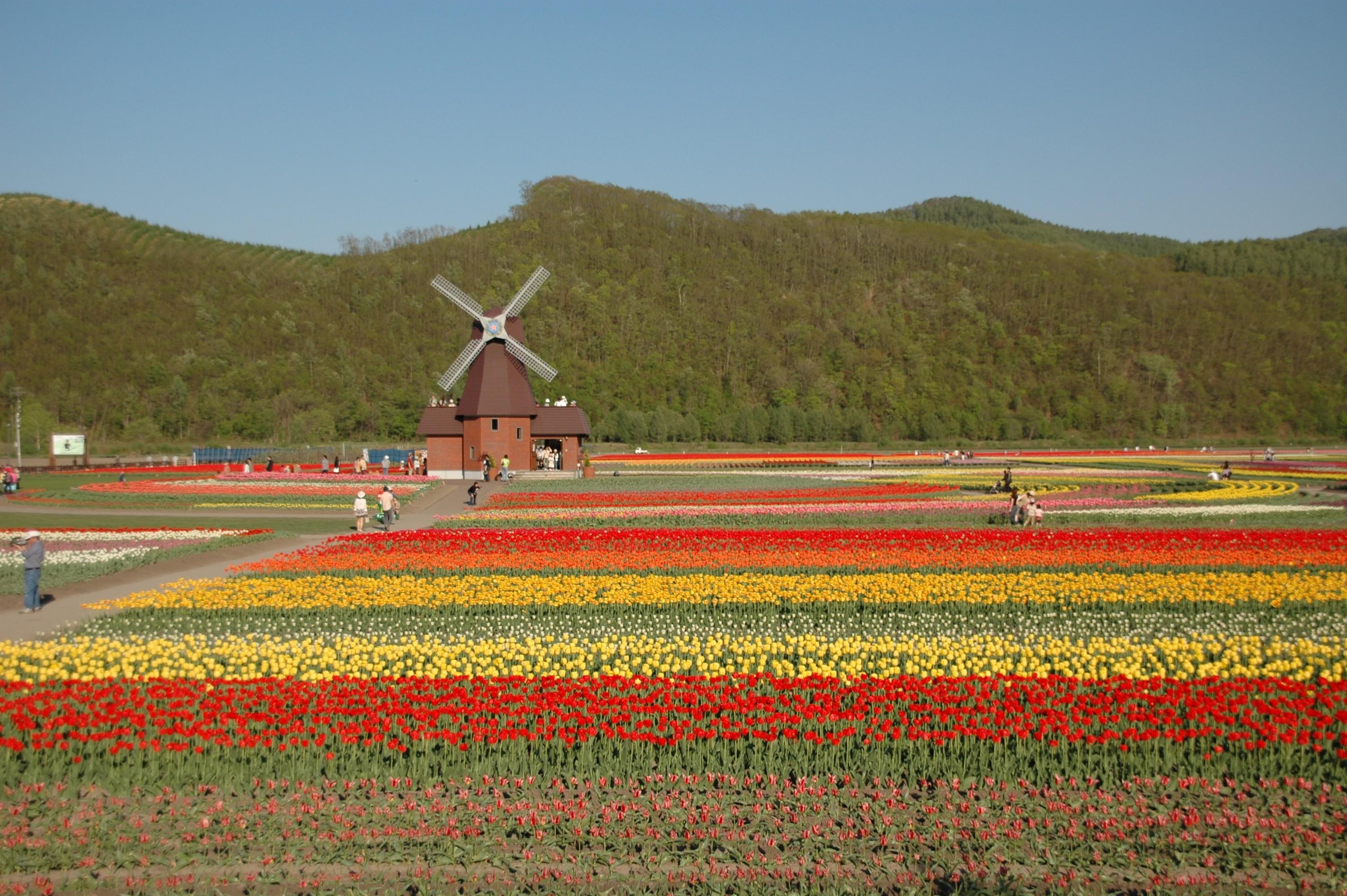 File:Tulip field Kamiyubetsu Hokkaido japan.jpg