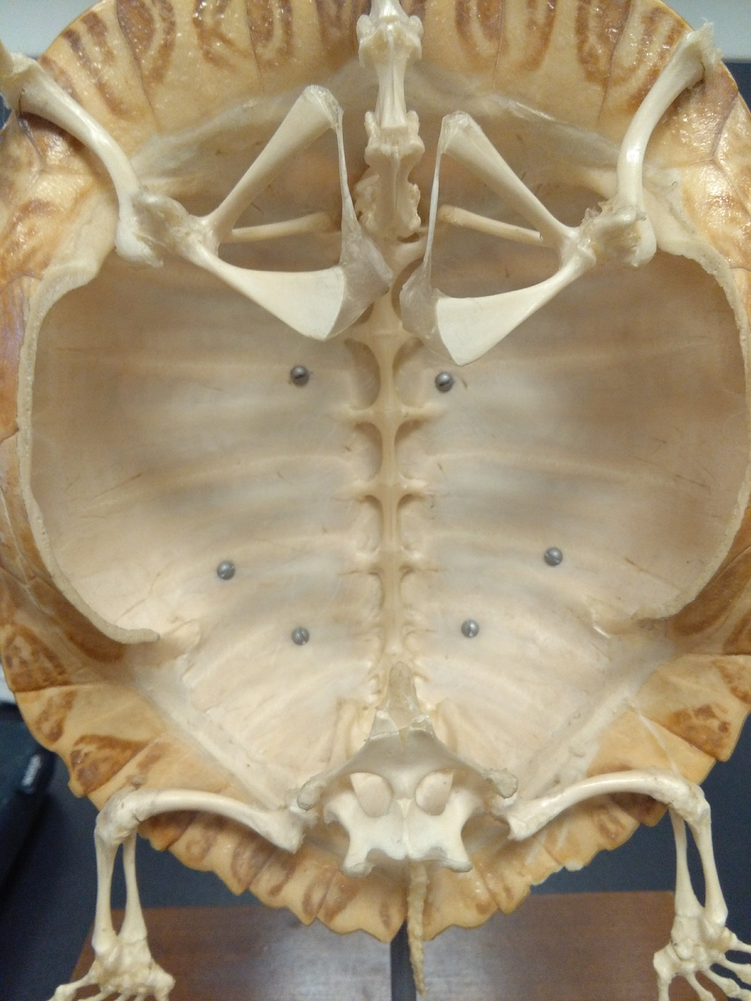 File:Turtle Carapace with Vertebrae and Girdles.jpg - Wikimedia Commons