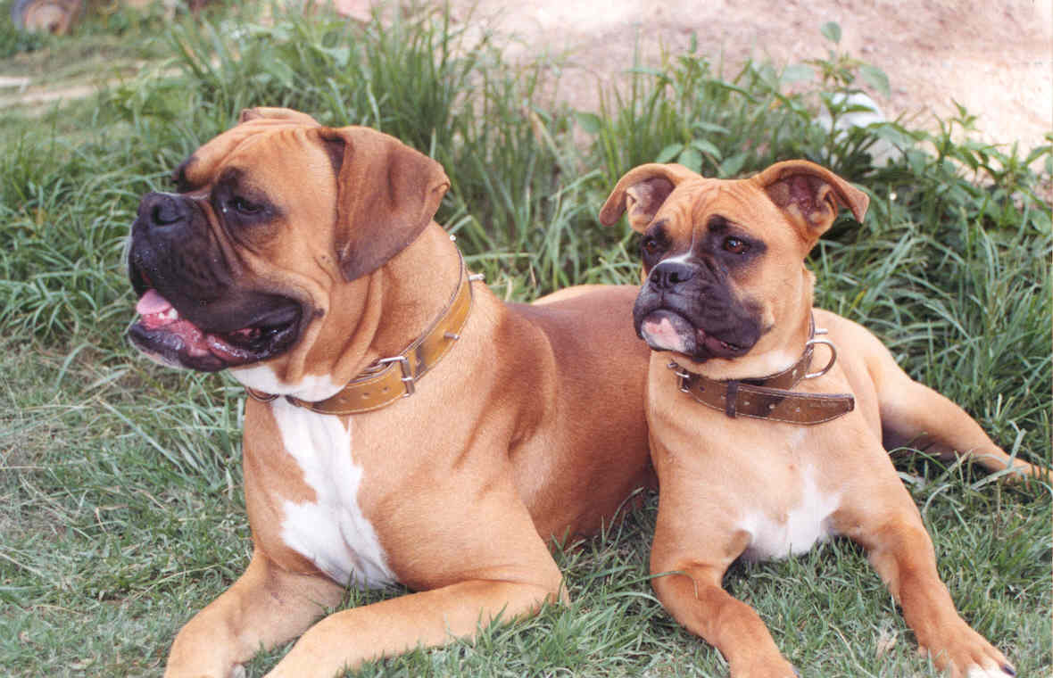 ... Mastiff Mix further Red Nose Pitbull Mix With German Shepherd as well