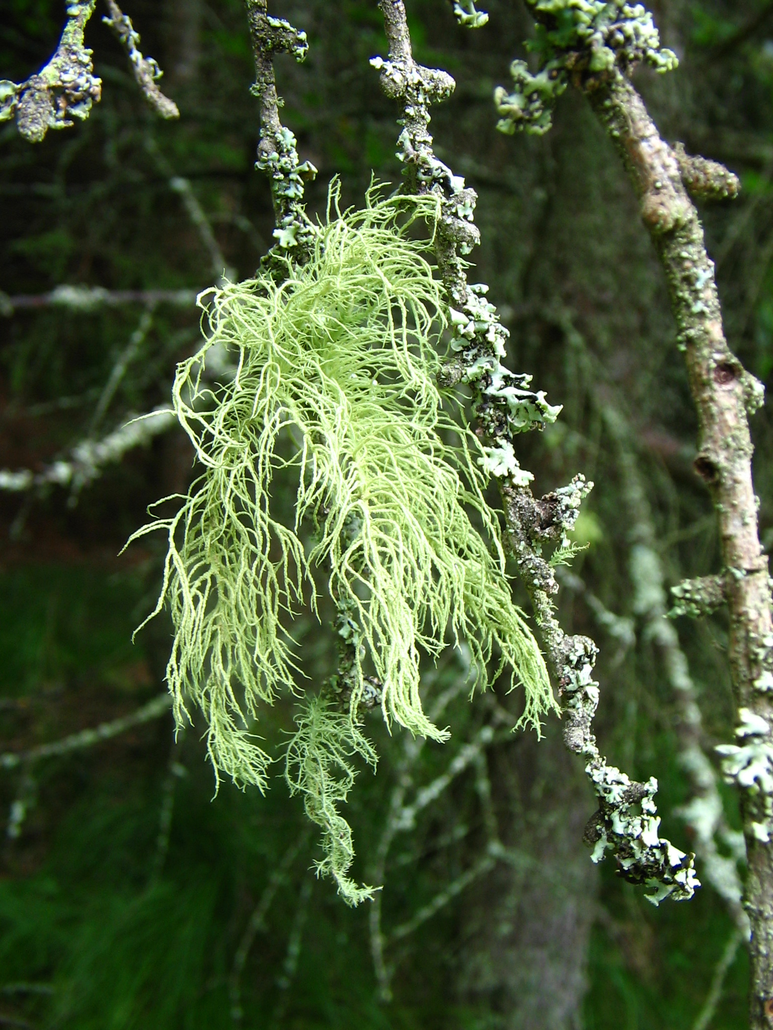 https://upload.wikimedia.org/wikipedia/commons/2/27/Usnea_1_%282005_07_19%29.jpg
