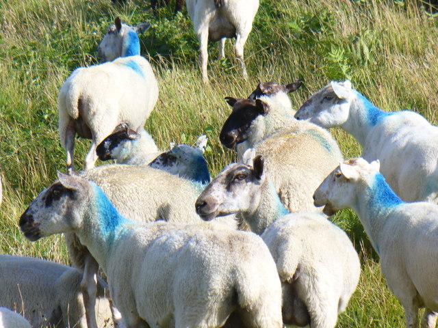 Welsh Lamb at Cwm Ivy - geograph.org.uk - 1418510