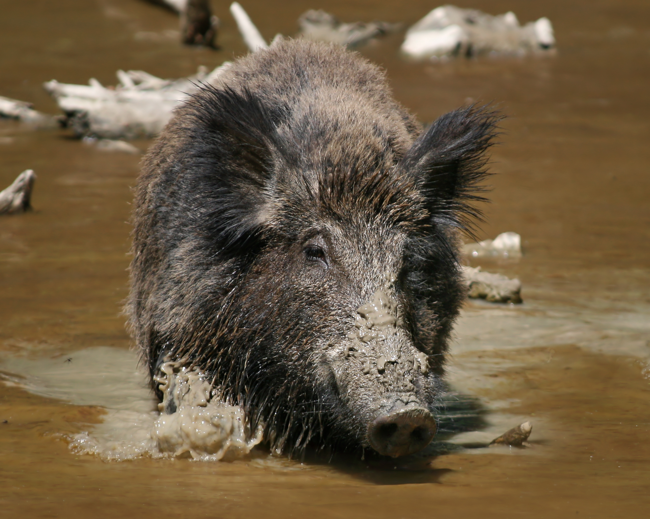Кабан или дикая свинья - широко распространенный вид.  Они населяют всю Европу, а в Азии
