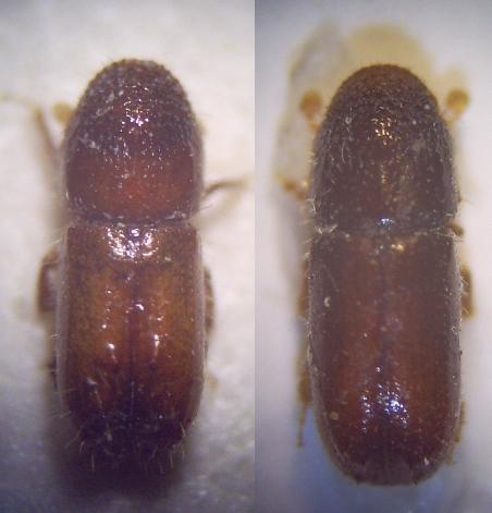 Lykožrút lesklý (lat. Pityogenes chalcographus)