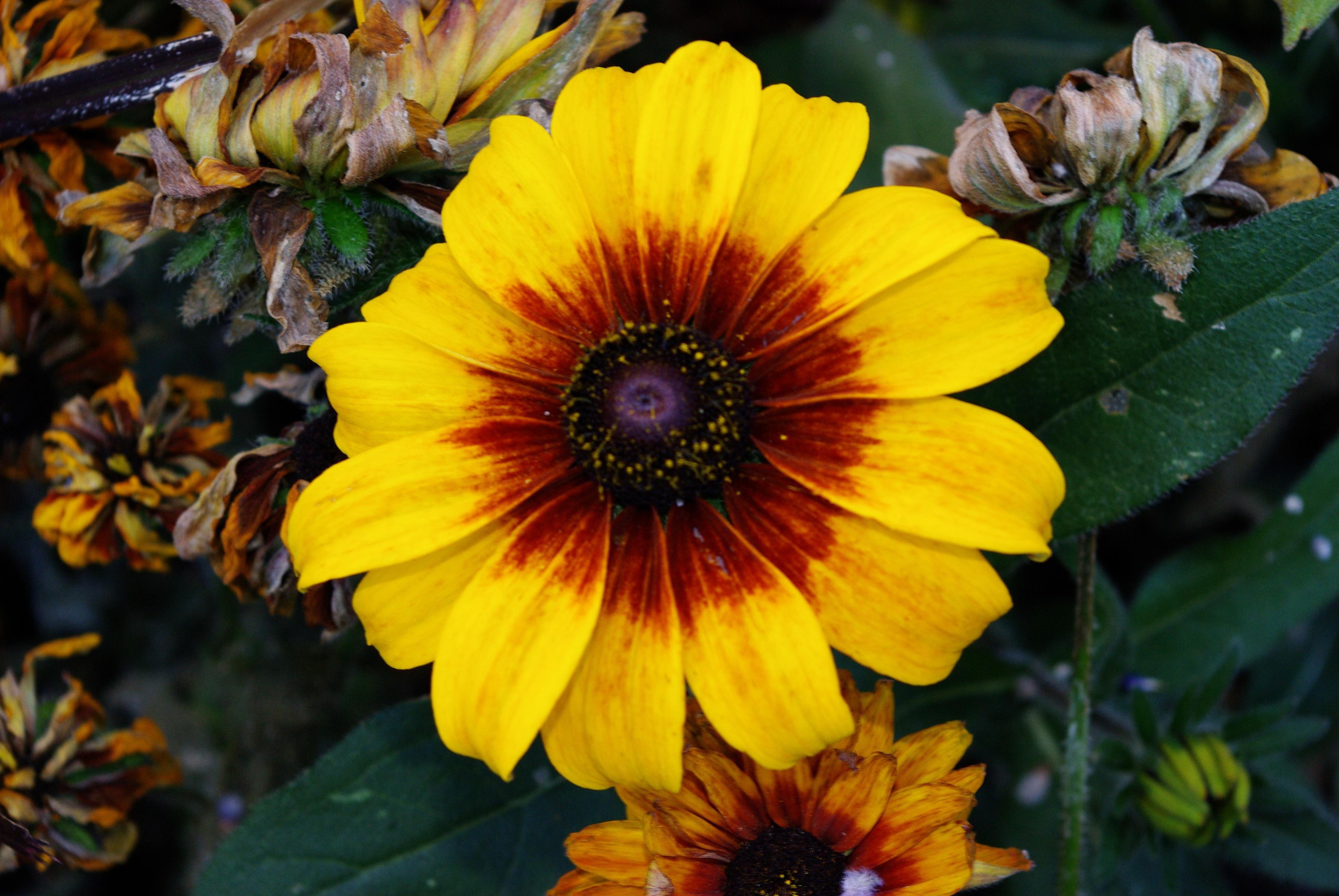 File A beautiful flower among the dying Wikimedia mons