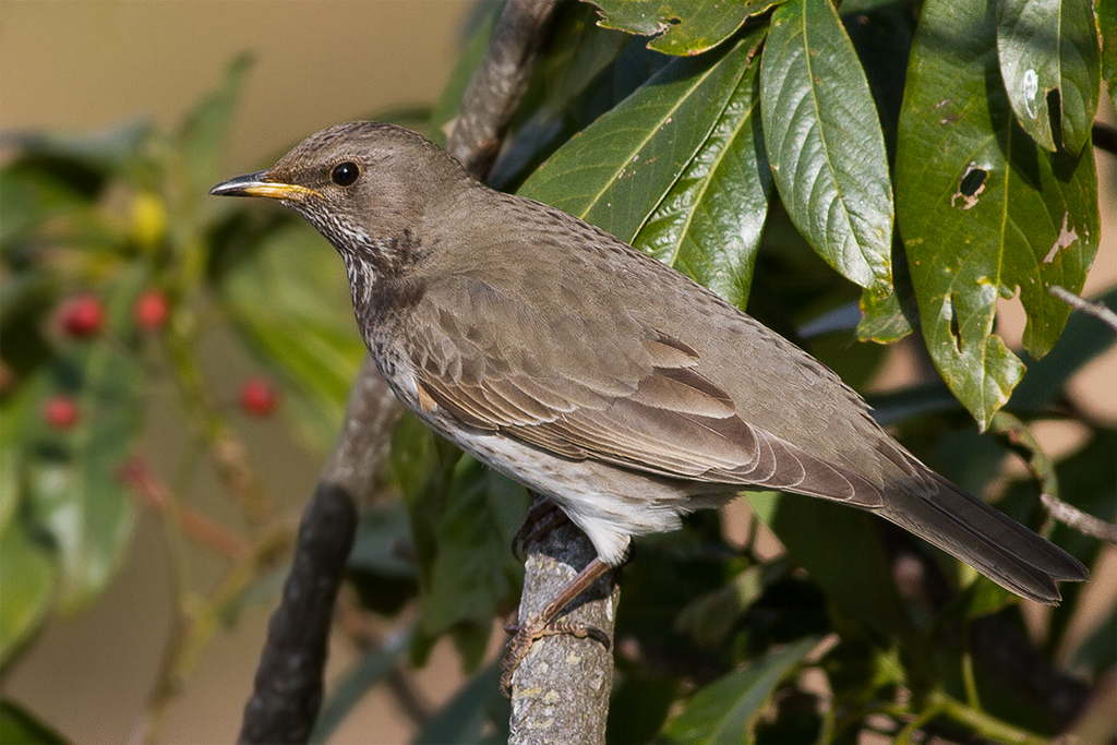Grey And Orange >> Black-throated thrush - Wikipedia