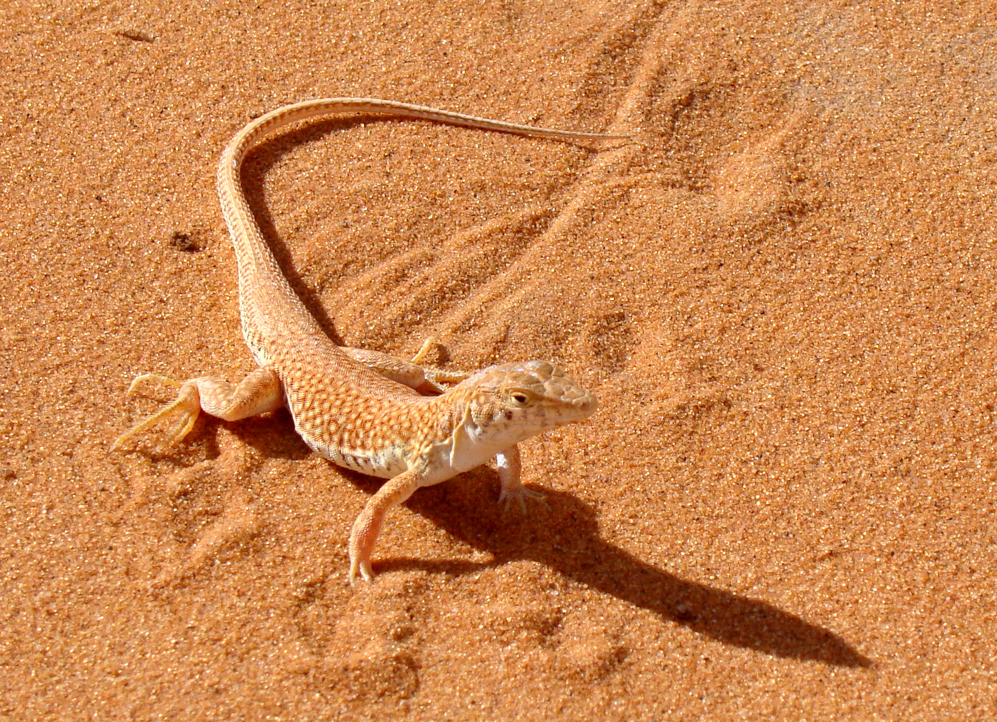 Acantodattilo   Acanthodactylus