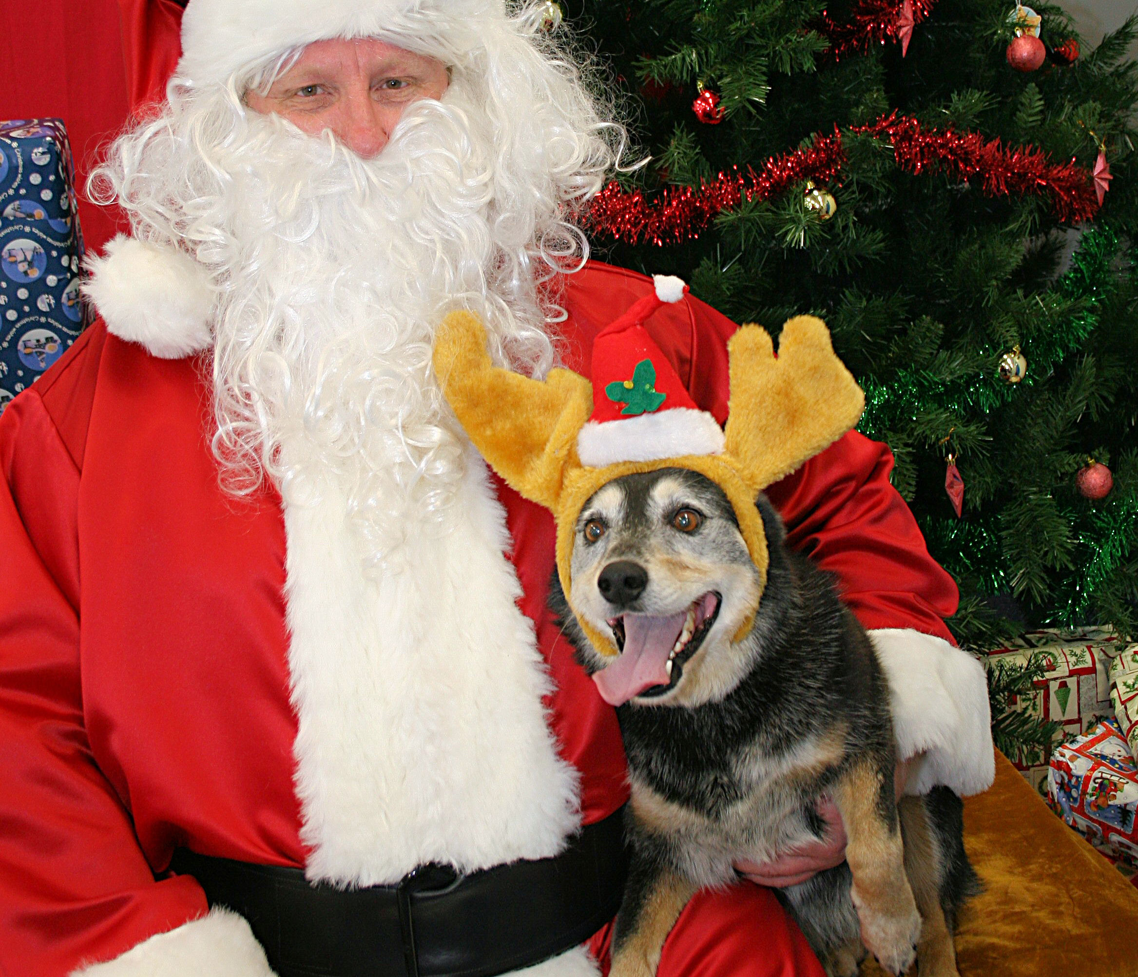 An Australian Cattle Dog in reindeer antlers sits on Santa's lap