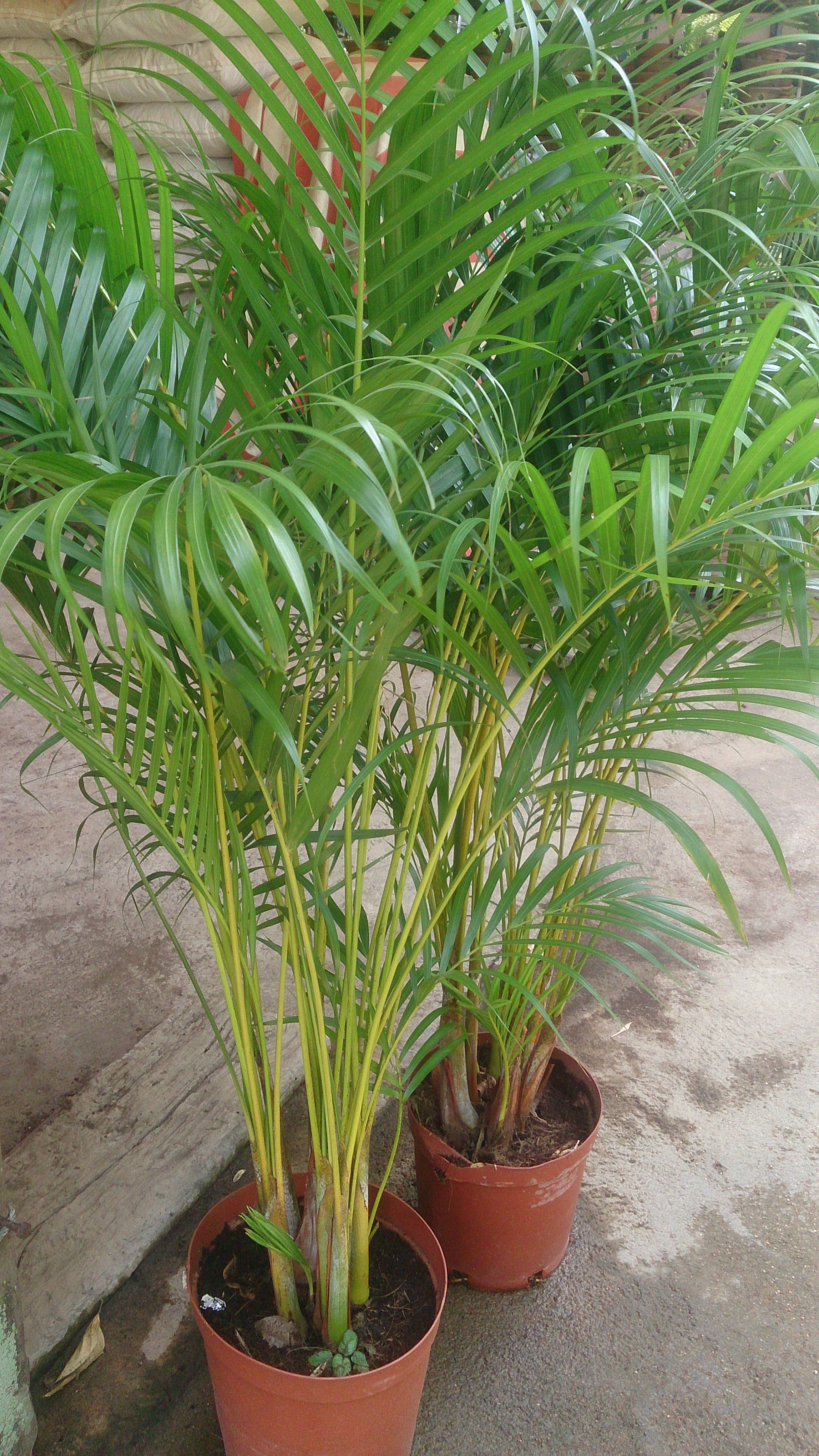 Top 5 houseplants for spring rental living for Pictures of areca palm plants