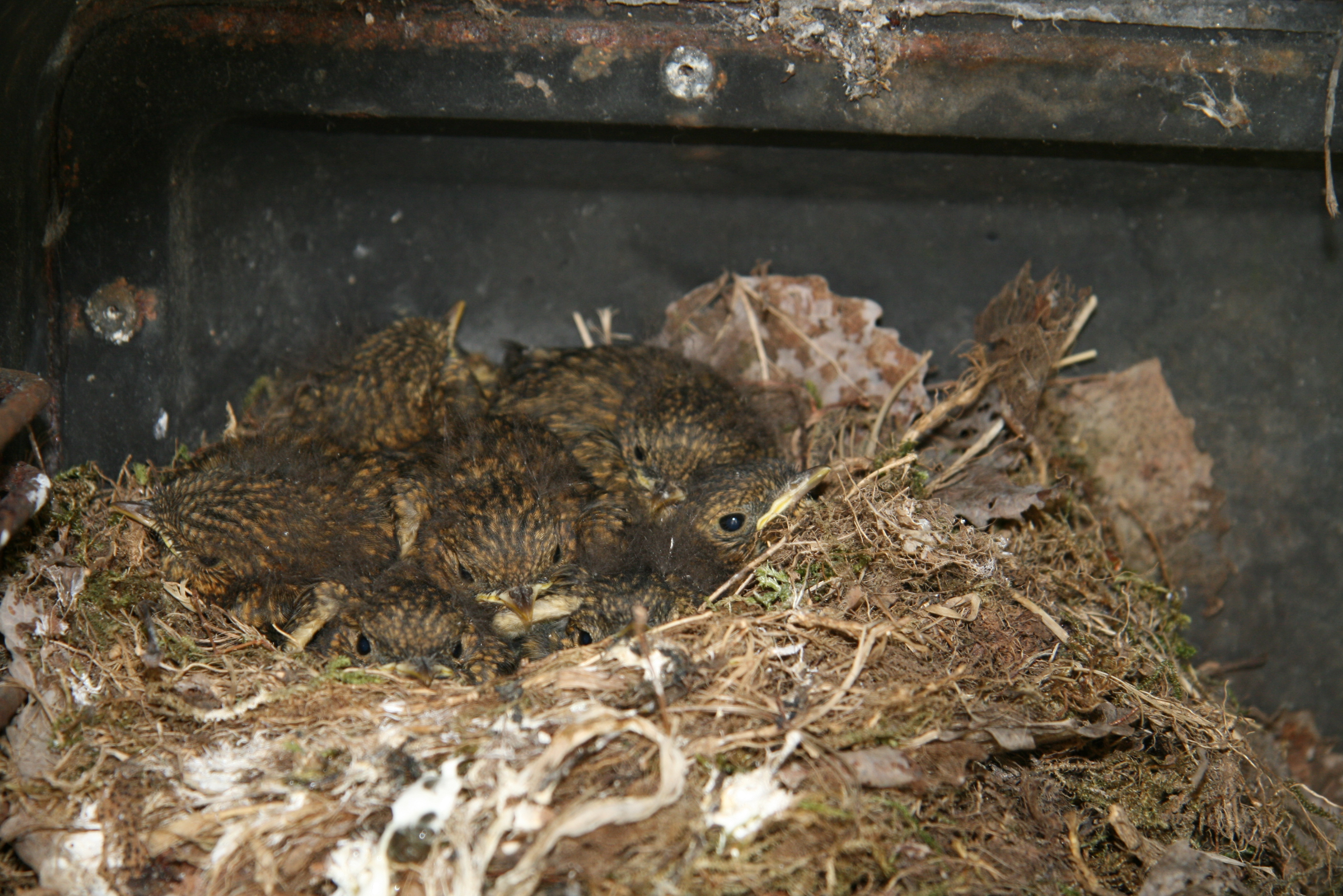 Rotkehlchen-Babies im Nest; By Canonlars (Own work Svenska: min egen bild) [CC0], via Wikimedia Commons
