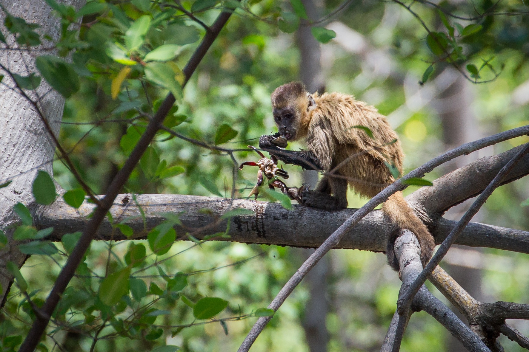 Beardy Monkey: File:Bearded Capuchin Monkey (Cebus Libidinosus) Crab.jpg