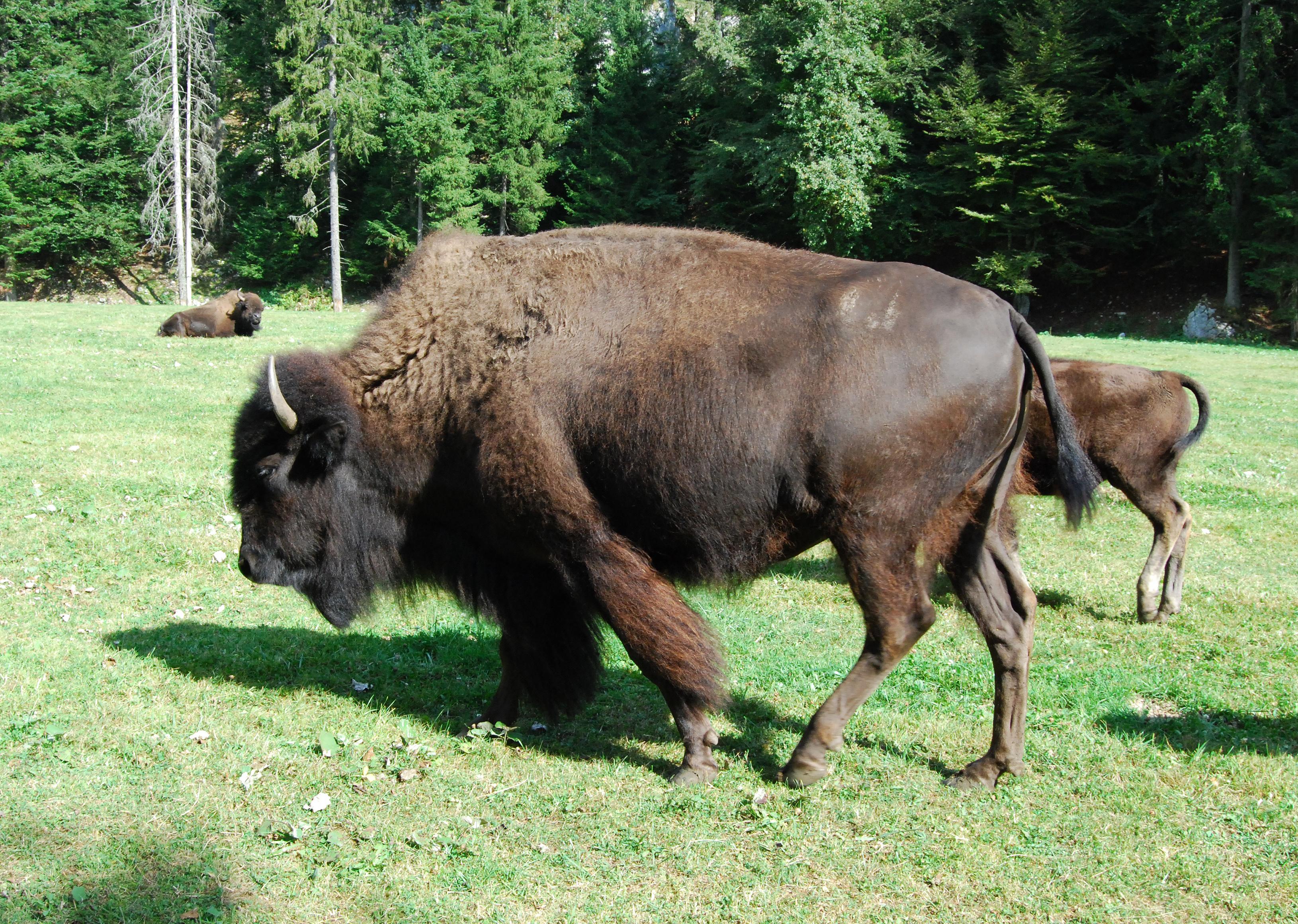 A Bison Parser Bison Wikipedia   Down...