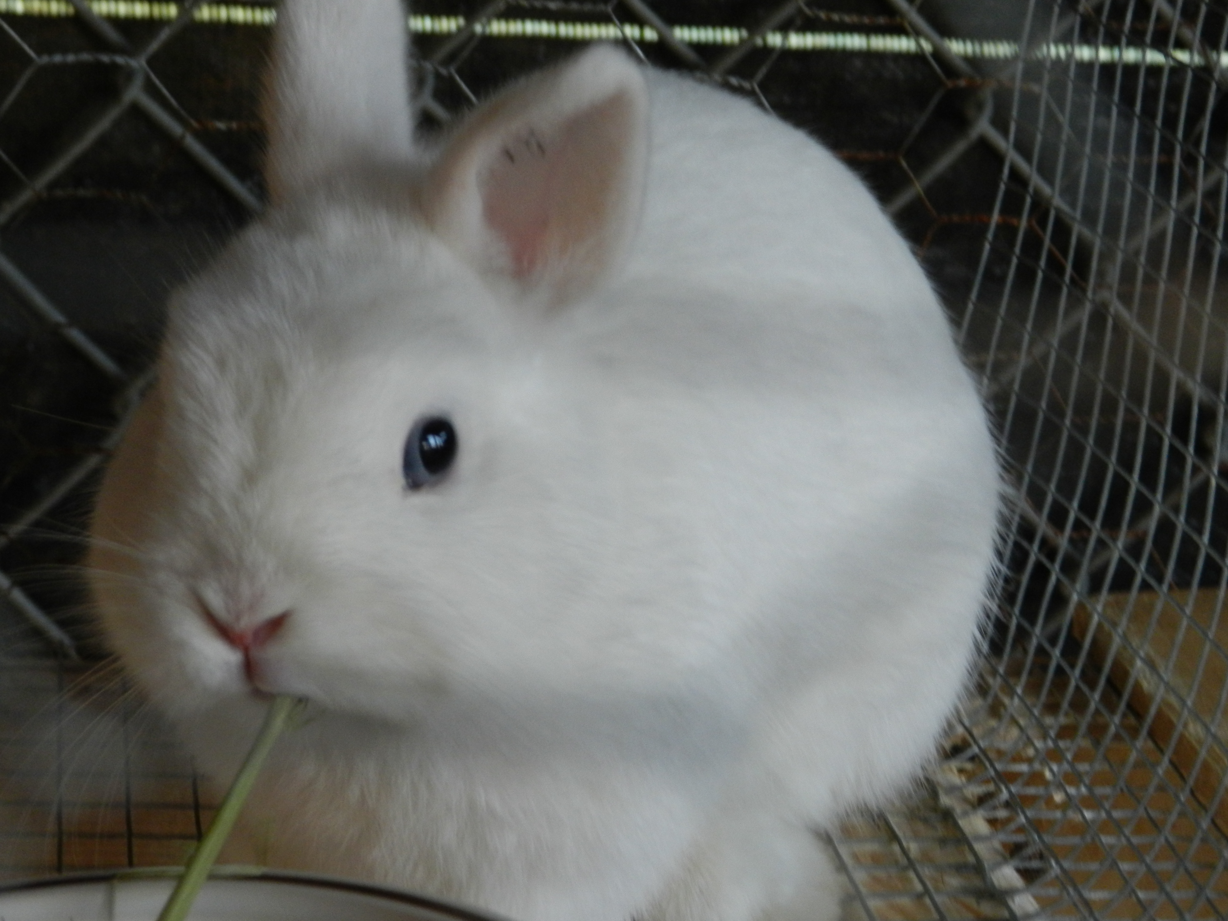 Blue Eyed White Netherland Dwarf