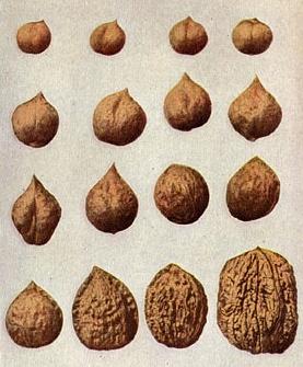 Изменение формы орехов в результате скрещивания. По изданию 1914 года