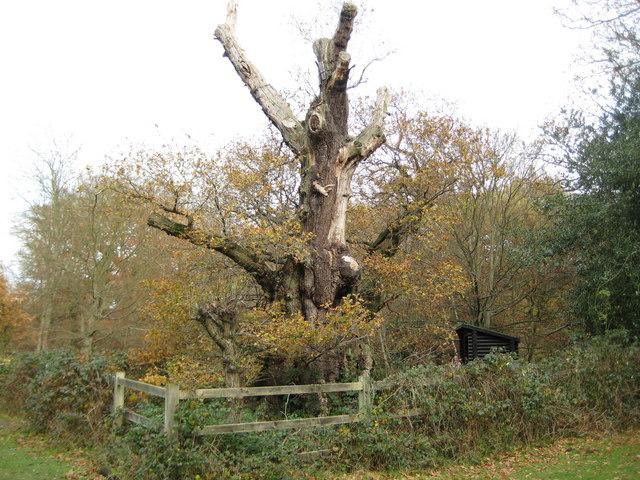 Burnham Beeches, Druids Oak - geograph.org.uk - 1046492