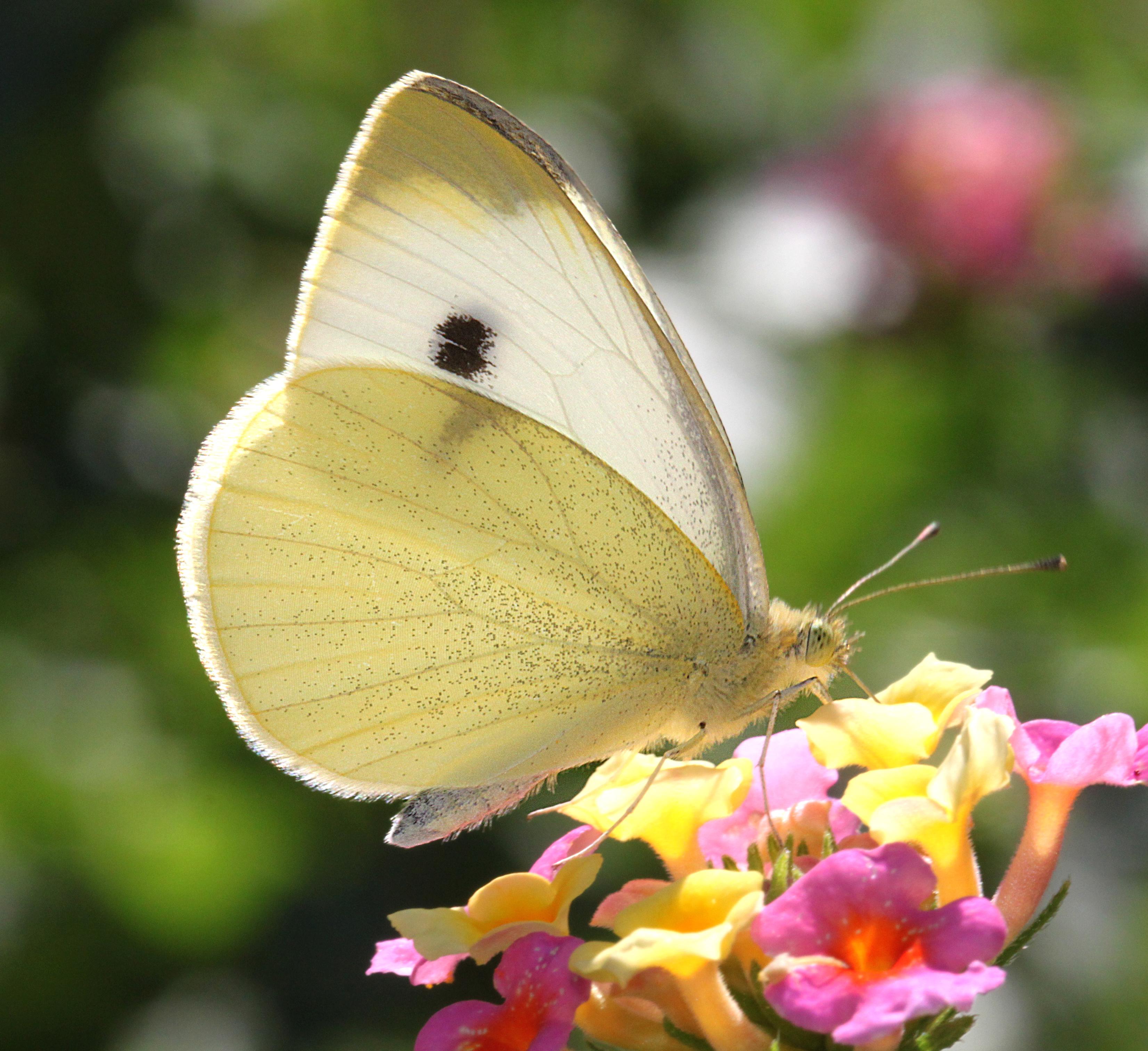 File:CABBAGE WHITE (Pieris Rapae) (10 2 11) Fem