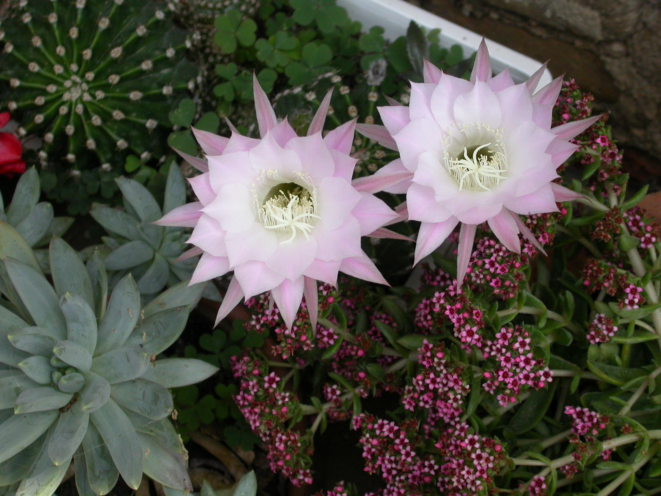 File Cactus flower Wikimedia mons