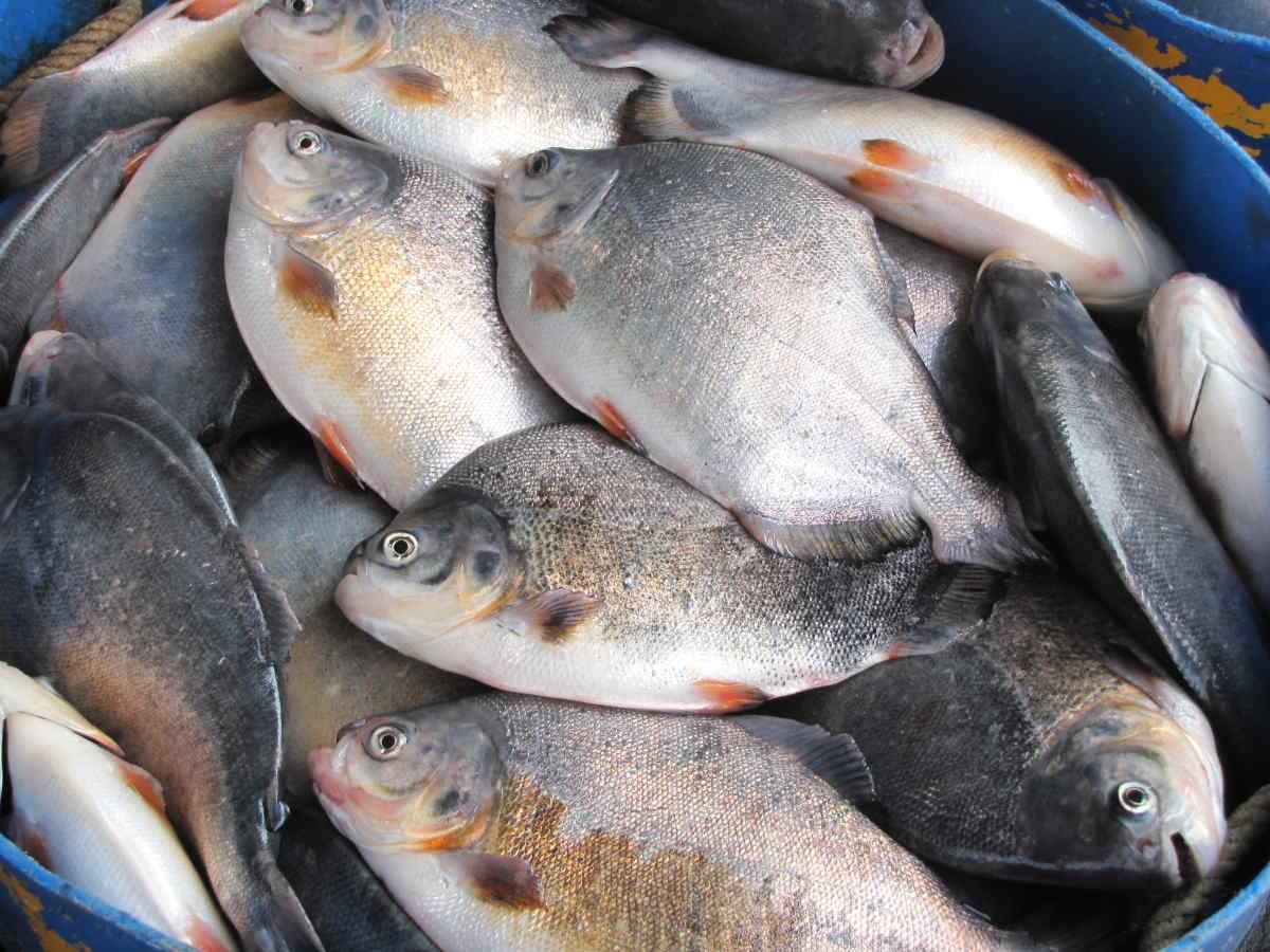 Десять тонн рыбы рассыпалось на трассе E45 неподалёку от Раннерса