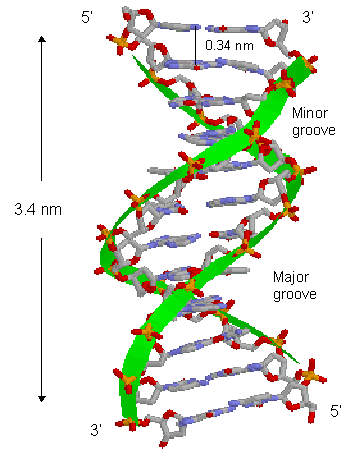 Structural Biochemistry/Nucleic Acid/DNA/DNA structure ...