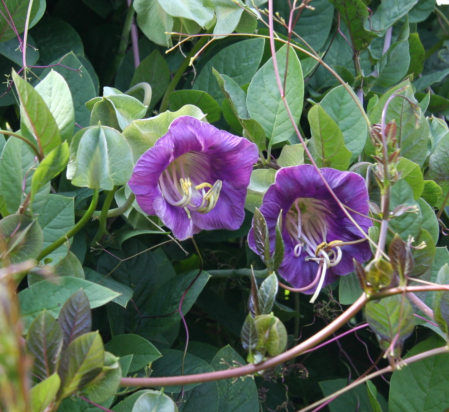 File:Cobaea scandens 05.jpg - Wikimedia Commons
