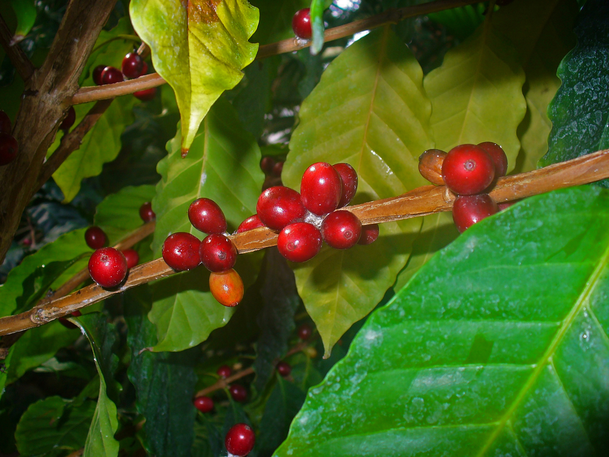 Horsedvm toxic plants for horses coffee for Coffea arabica