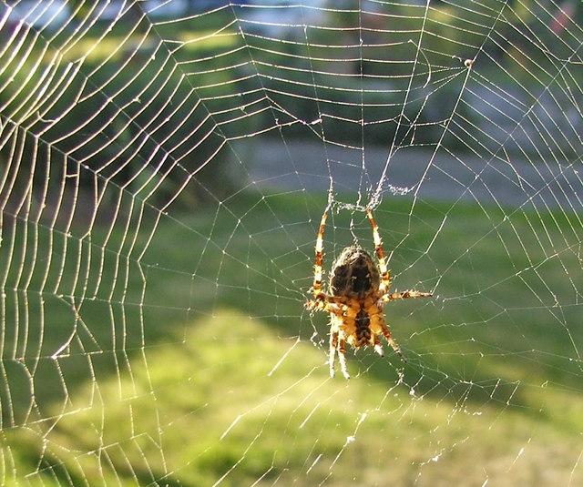 File:Cross Spider (Araneus Diadematus)   European Garden Spider In Web    Geograph