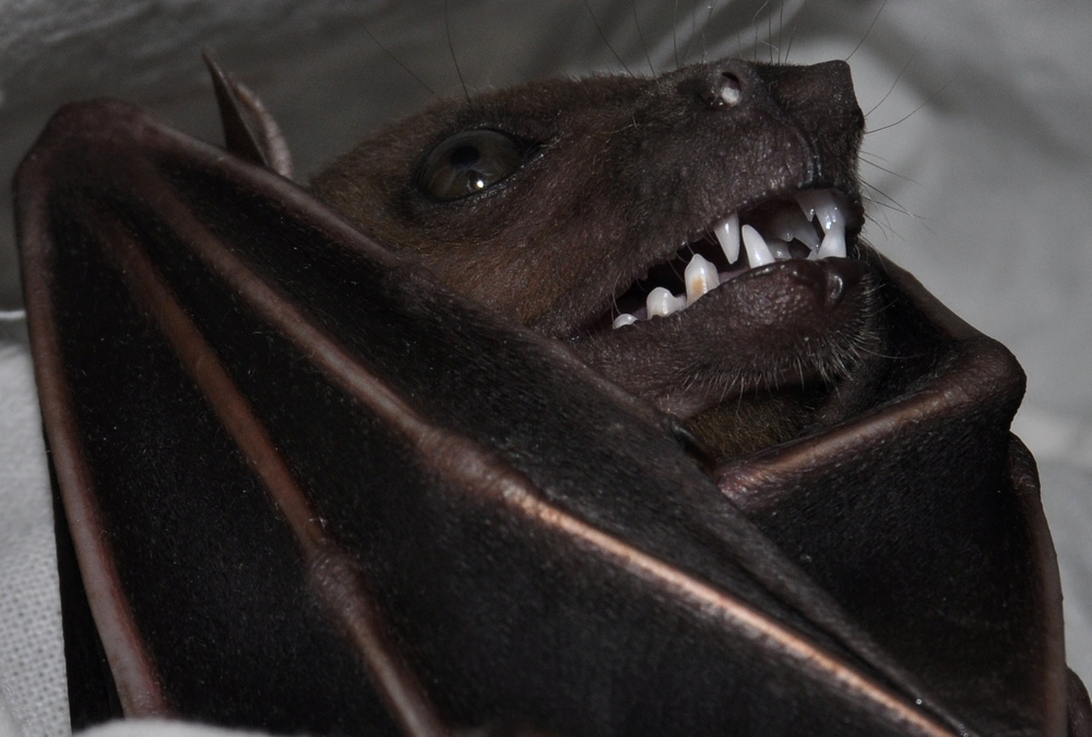 The average adult weight of a Indonesian short-nosed fruit bat is 59 grams (0.13 lbs)