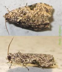 <i>Eccopsis</i> Genus of tortrix moths