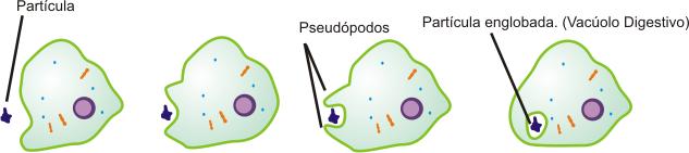 Representação da fagocitose