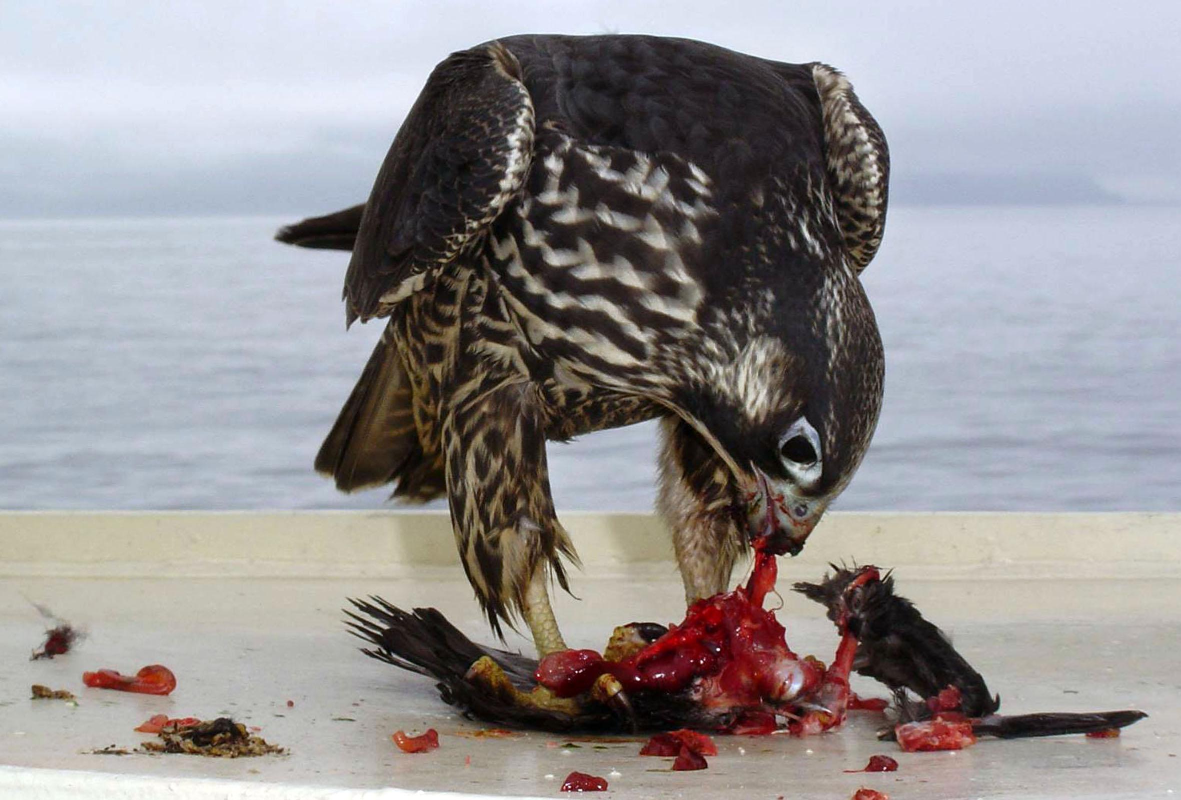 Peregrine Falcon Flying Speed