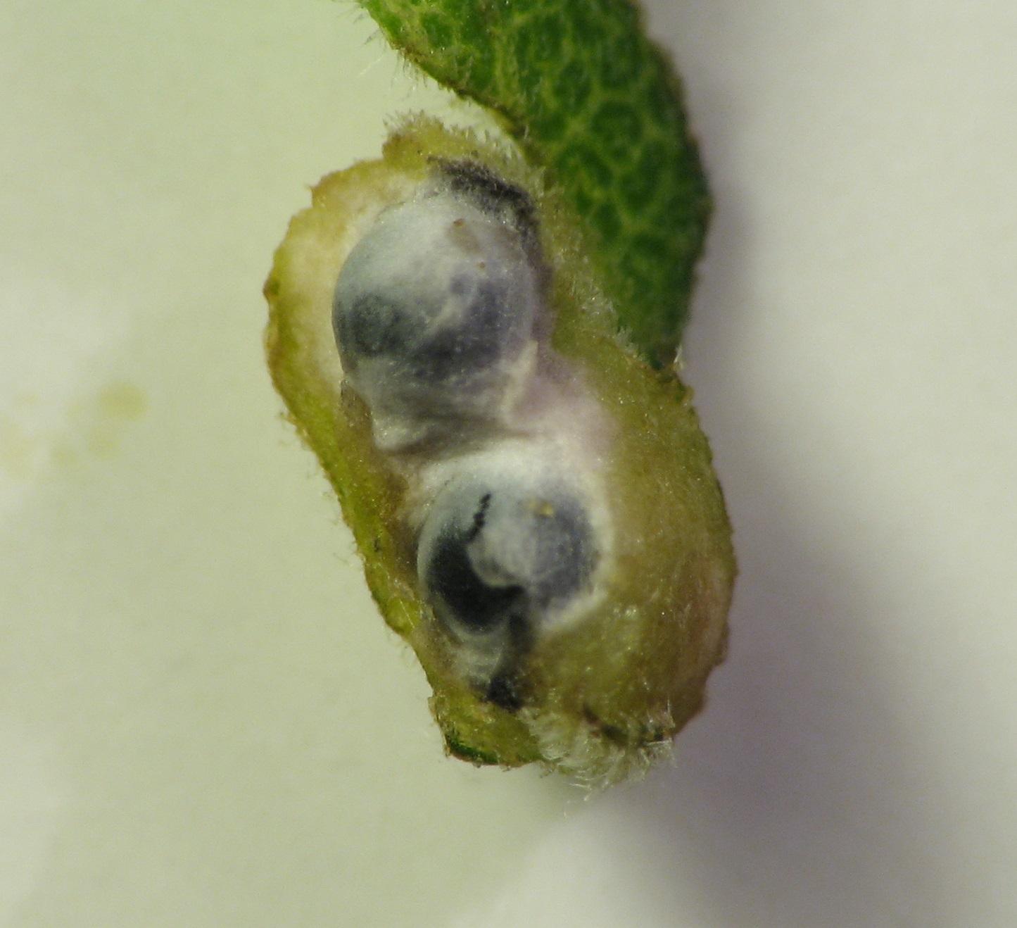 photo of Galeopsomyia haemon galls within a Asphondylia solidaginis leaf-snap gall