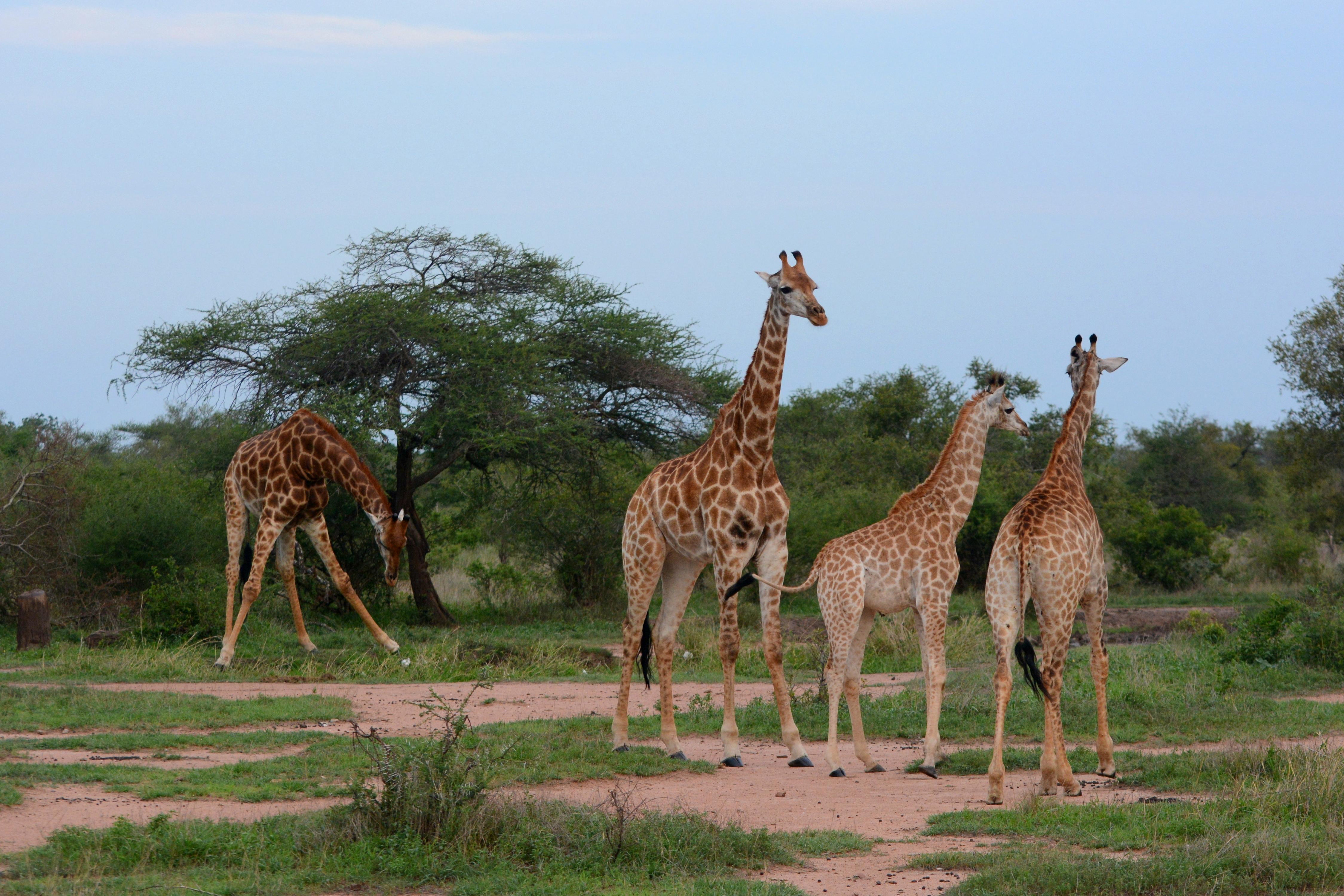 afrikanza-kruger-giraffes
