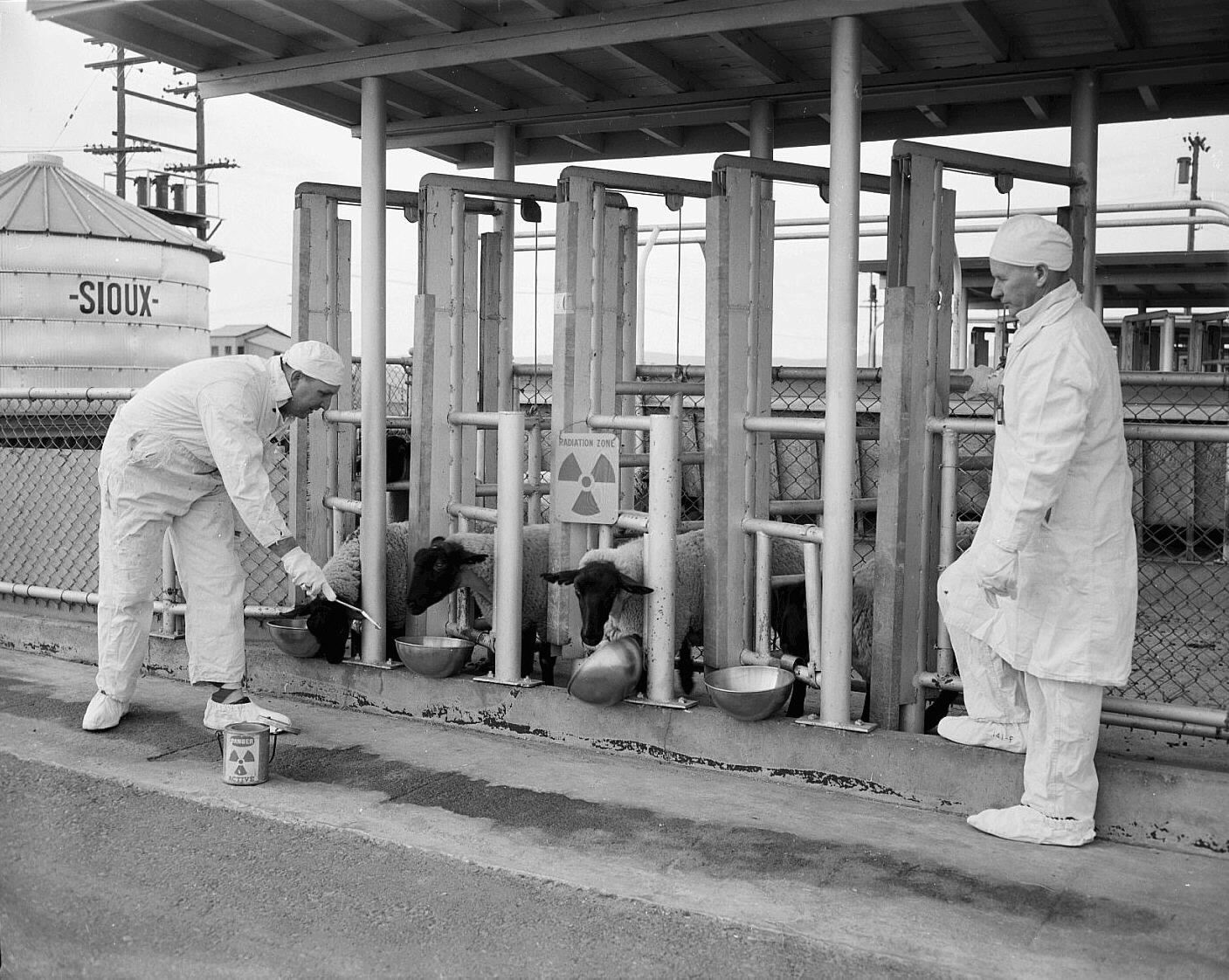 Hanford sheep testing 2