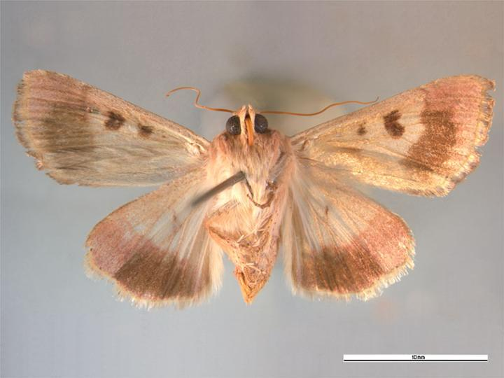 https://upload.wikimedia.org/wikipedia/commons/2/28/Helicoverpa_armigera_ventral.jpg