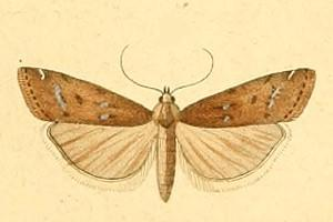 <i>Isauria dilucidella</i> species of insect