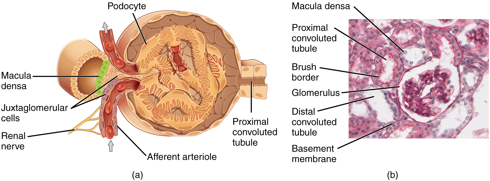 Kidney anatomy glomerulus