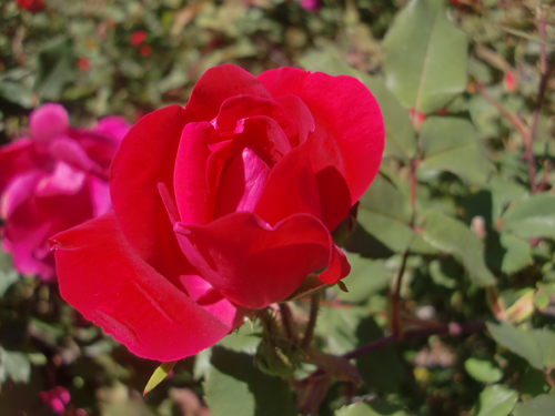 Roses In Garden: Knock Out Roses. Knockout Roses. Stunning And Care Free