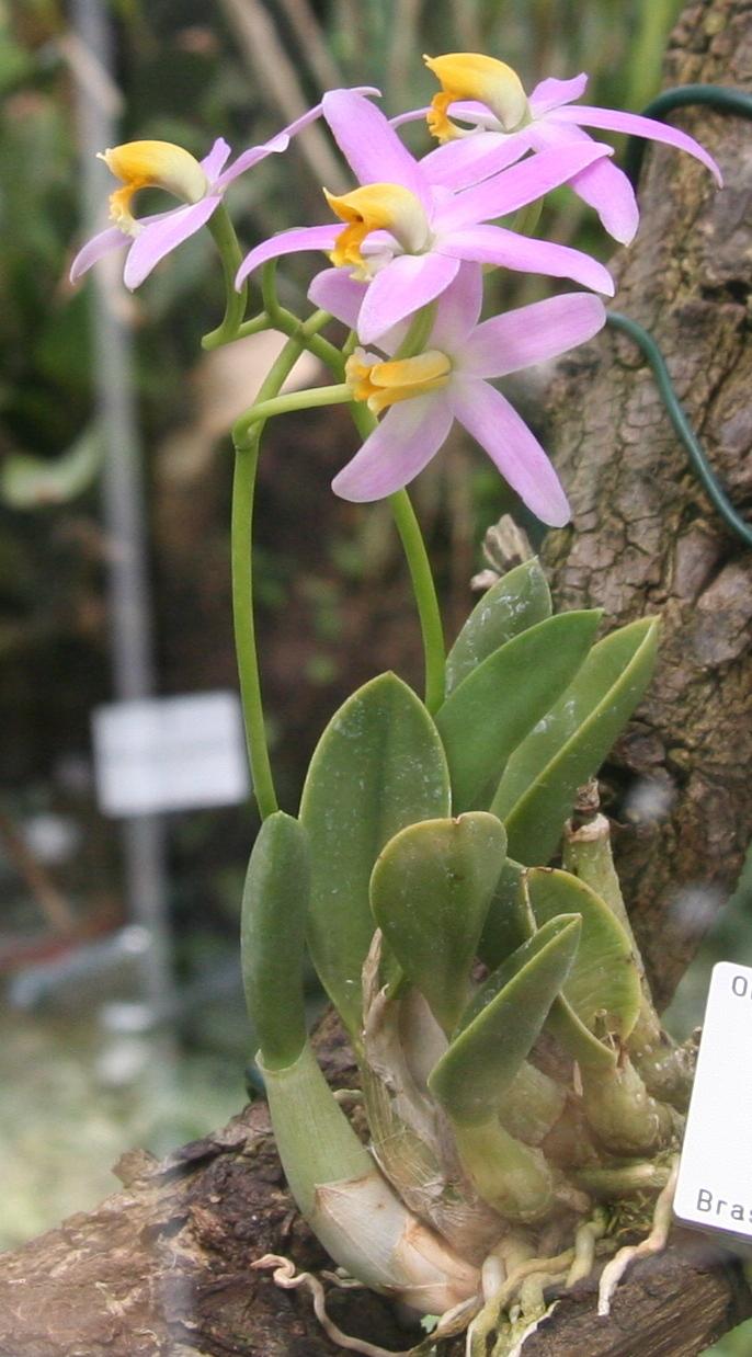 http://upload.wikimedia.org/wikipedia/commons/2/28/Laelia_reginae.jpg