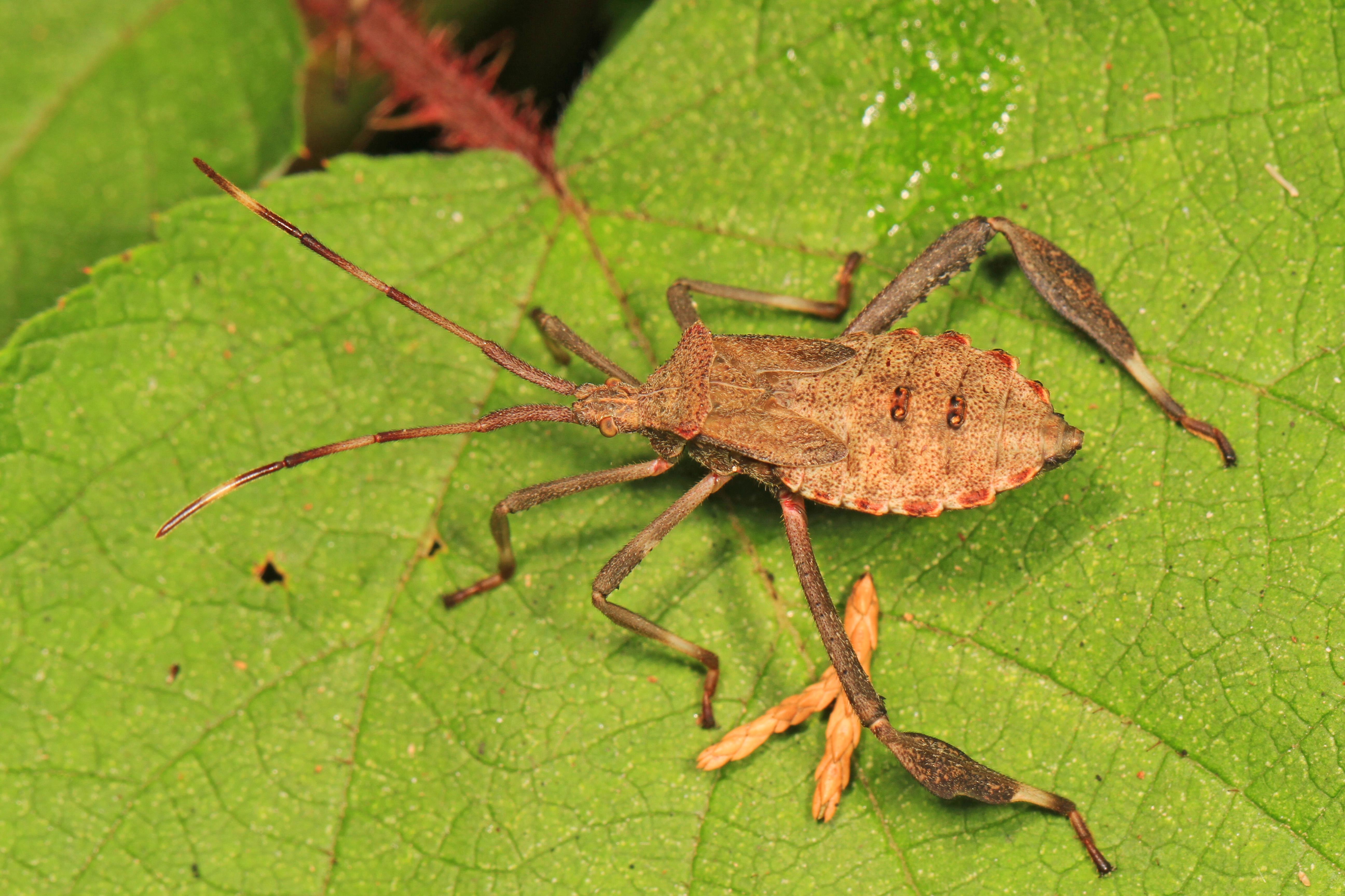 File:Leaf-footed Bug nymph - Acanthocephala sp?, Meadowood Farm ...