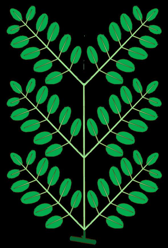 File:Leaf morphology type bipinnately-compound.png ...