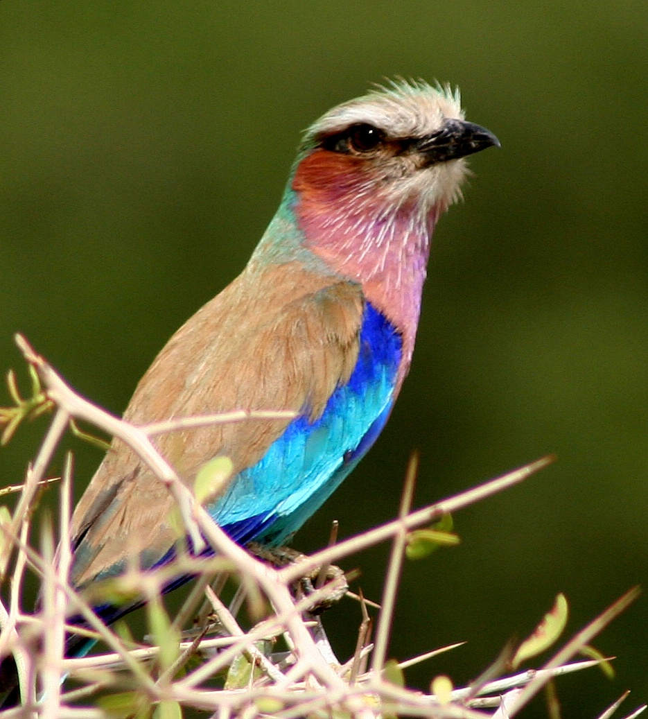 List of birds of Kenya - Wikipedia