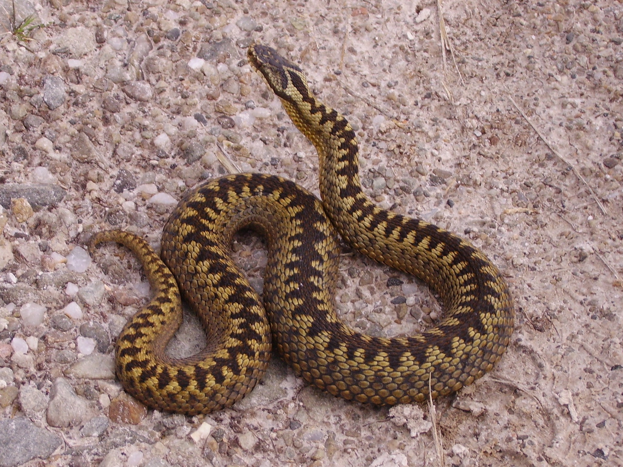 Picture of an adder Source: https://commons.wikimedia.org/wiki/File%3ALoch_Shin_adder.JPG