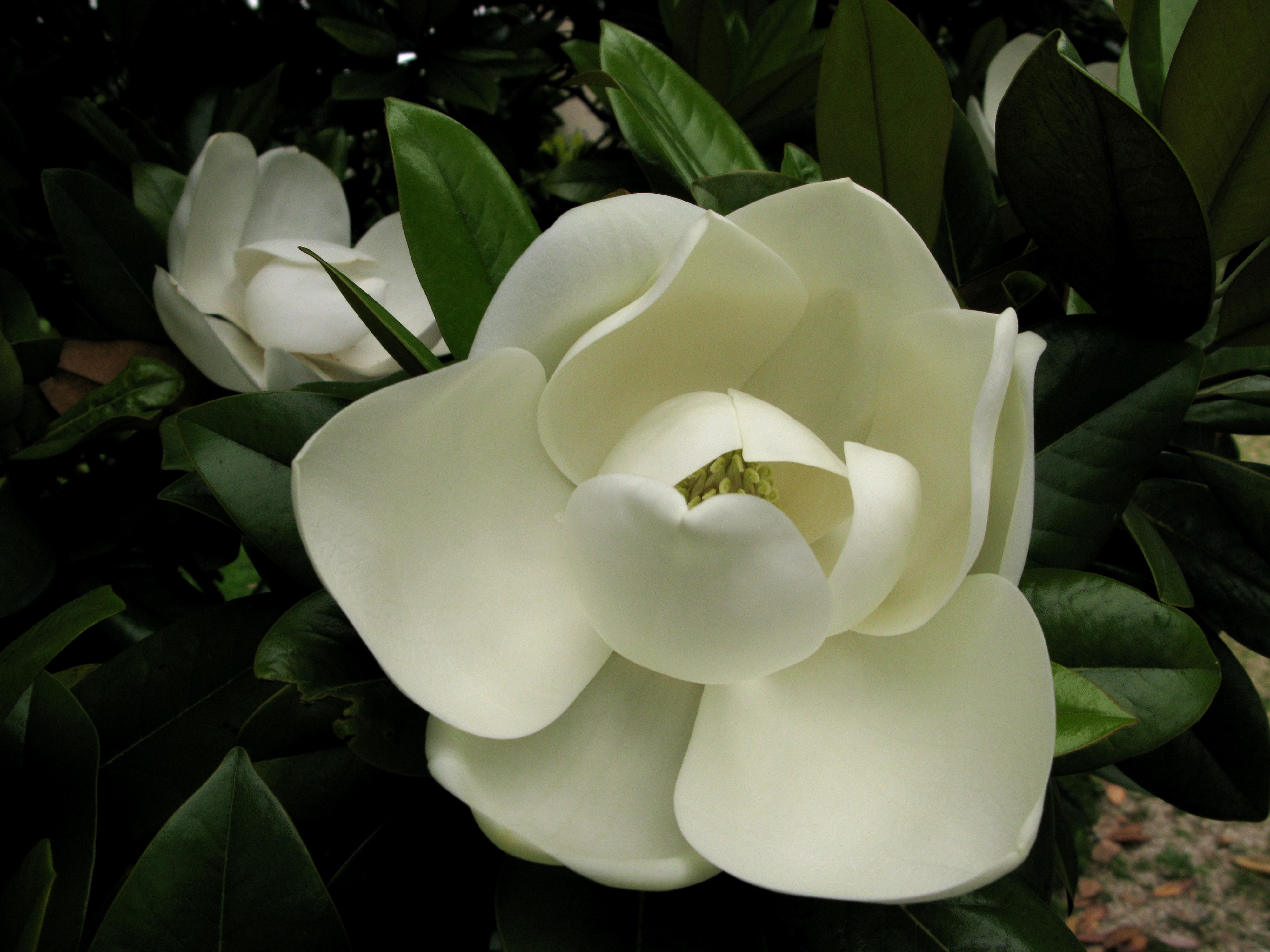 magnoliaflowerpx ×  Радость для глаз, Именины, Natural flower
