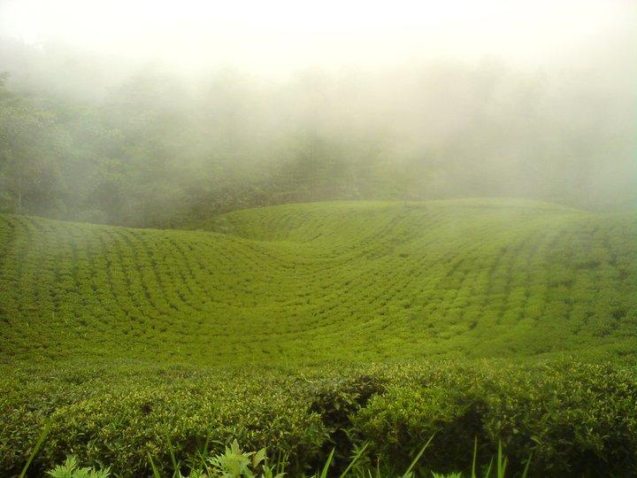 Datei:Mist Valley Tea Estate.jpg